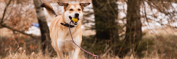 Dog playing outside with ball in its mouth